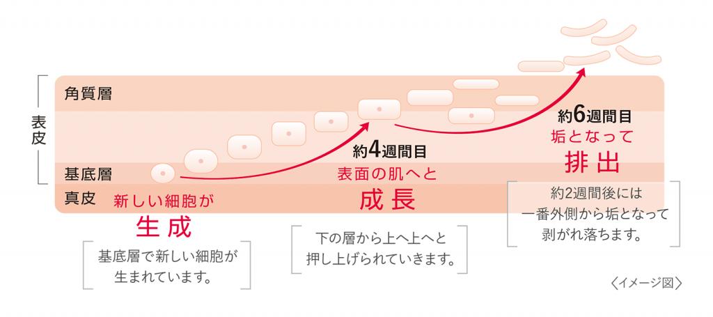 ターンオーバーのサイクル